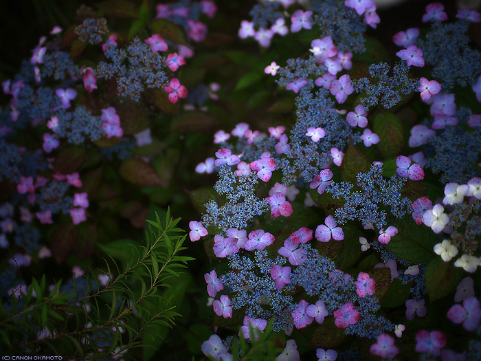 Hydrangea serrata - ヤマアジサイ
