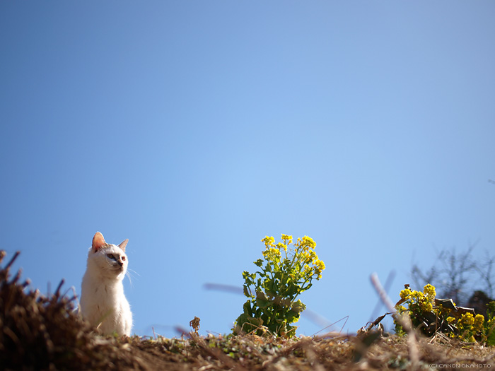 cat and rape blossoms