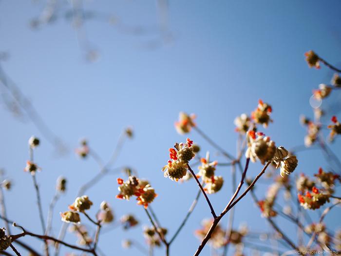 oriental paper bush