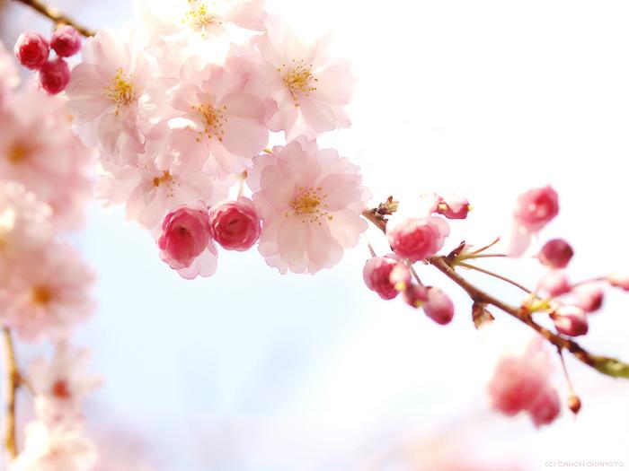 sidare-yae-sakura