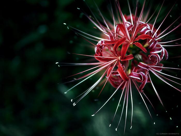 Red spider lilie